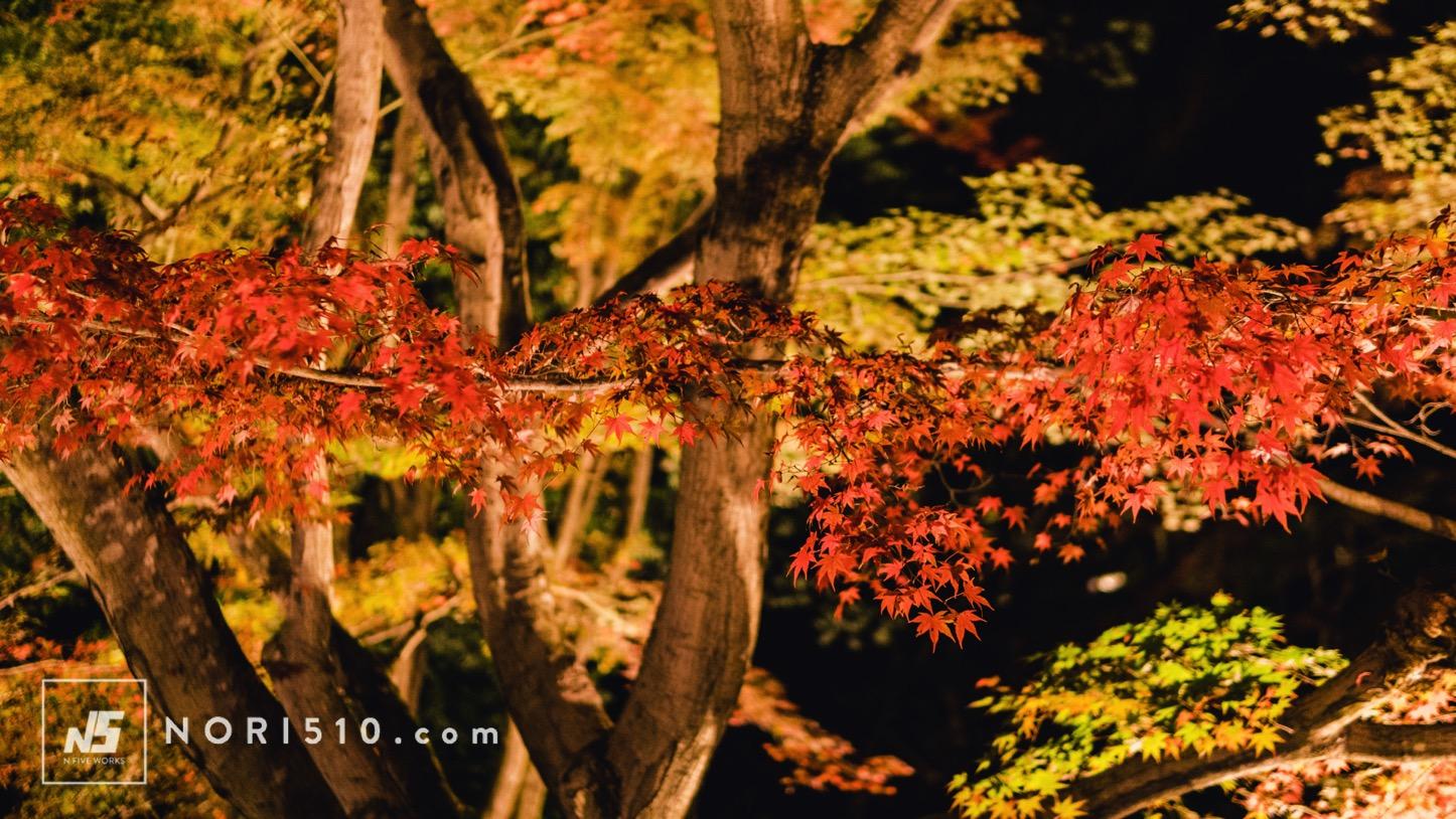 光に照らされる紅葉